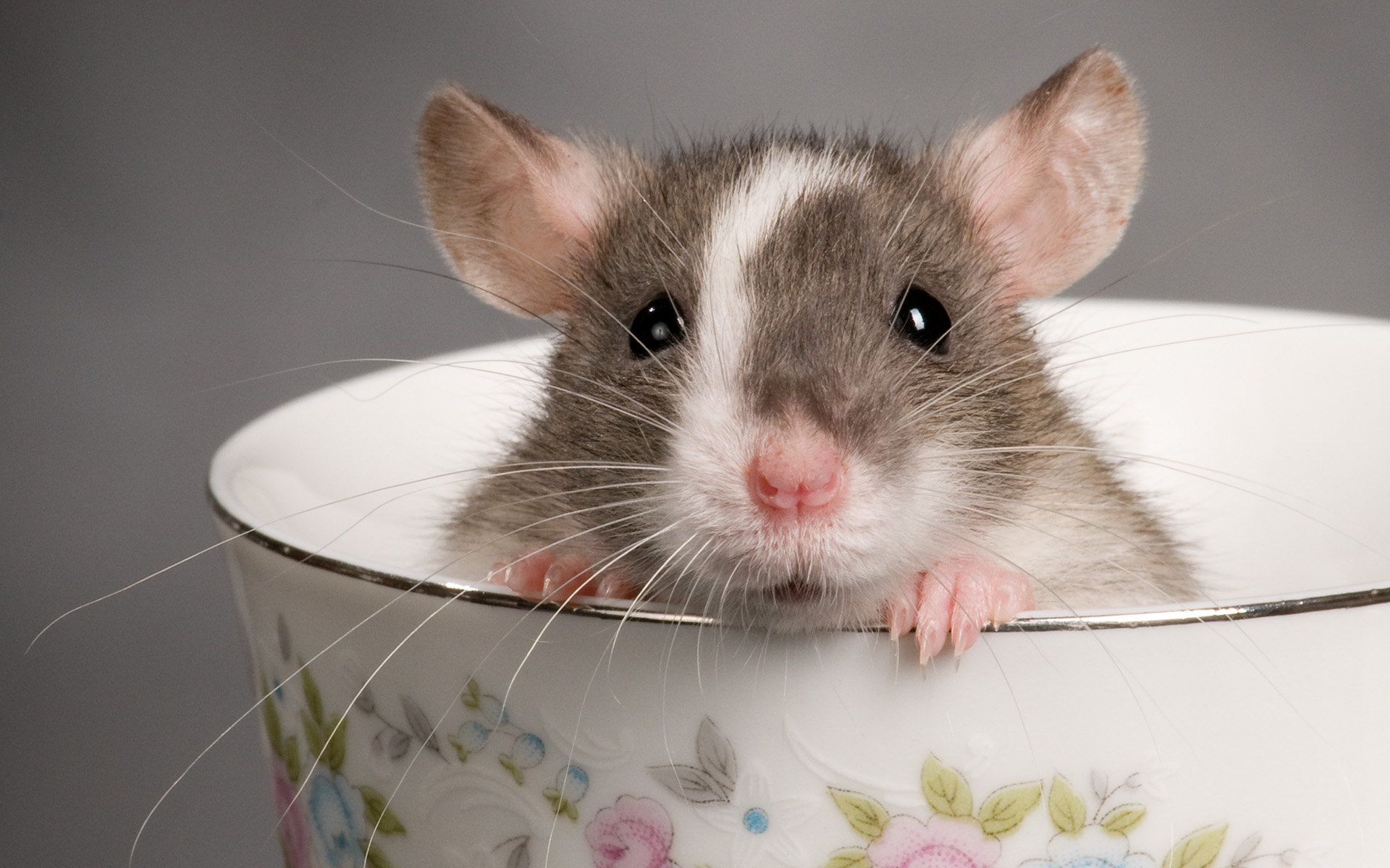 rat-teacup-animal-cute-rodent_427270